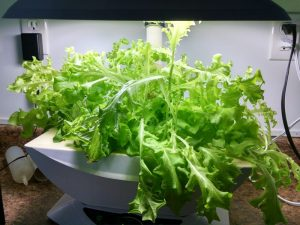 First crop of leaf lettuce at the makerspace. Spinach & arugula on the left is getting smothered.